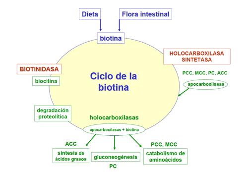 Metabolismo vitaminas el intervienen que en