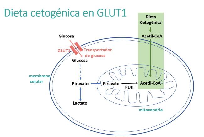 Dieta cetogénica en la GLUT1