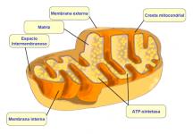 ¿Qué son las mitocondrias?