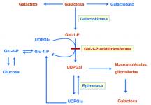 ¿Qué ocurre en las galactosemias?