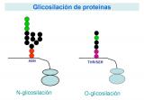 ¿Qué son las glicoproteínas?
