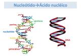¿Qué son los nucleótidos?