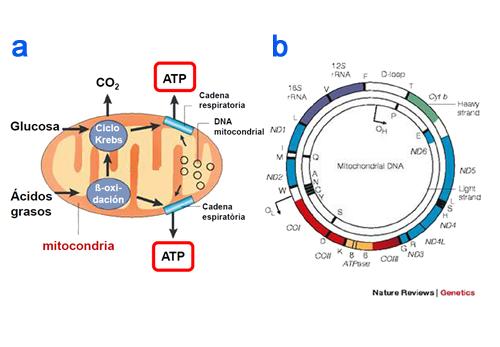 alexa molina 3 2 3 adn mitocondrial