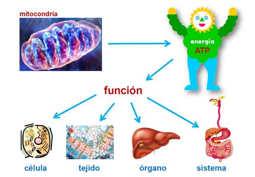 ¿Qué es la respiración celular? - Guía Metabólica