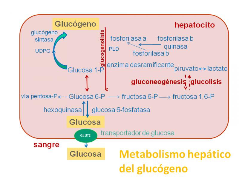 ¿Qué son las glucogenosis? - Guía metabólica