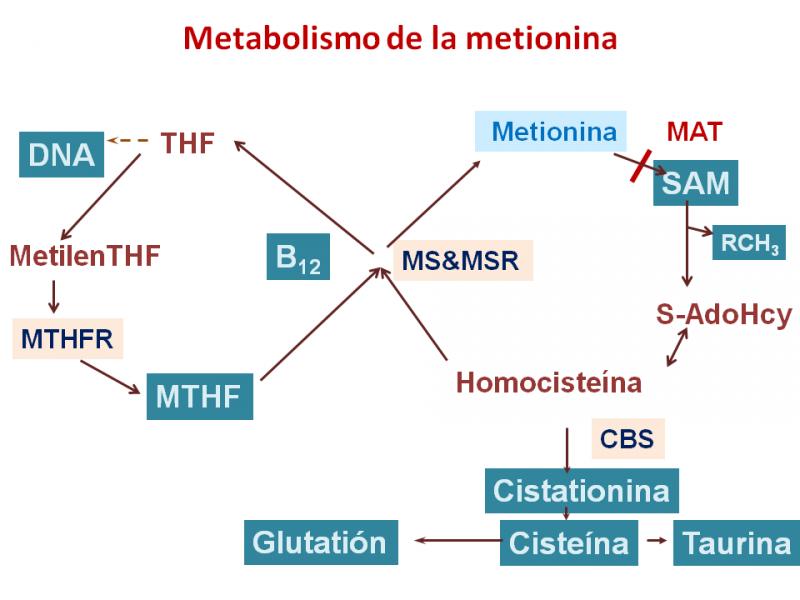 Metionina Adenosiltransferasa; S-Adenosilmetionina Sintetasa