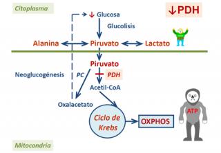 Deshidrogenasa Lactica Pdf