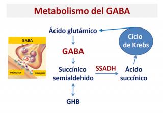 ¿Cómo se metaboliza el GABA?