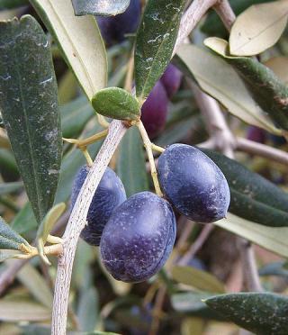 Aceitunas negras. Foto de Marco Bernardini en Flickr (CC BY-NC-SA 2.0)