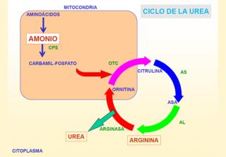 Novedades y avances en el ciclo de la urea | Guía Metabólica