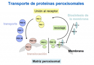 Transporte de proteínas peroxisomales