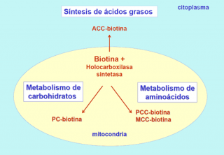 Qué ocurre en la deficiencia de biotinidasa?   Guía Metabólica