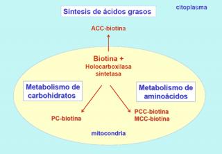 ¿Qué ocurre en la deficiencia de biotinidasa?
