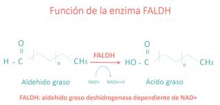 función de la enzima FALDH