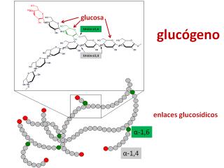 Glucógeno. Imagen: HSJDBCN