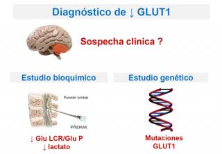 ¿Qué es el GLUT1 y dónde se encuentra?