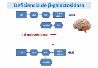 ¿Qué ocurre cuando se produce una deficiencia de β-galactosidasa?