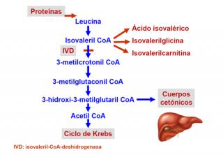 ¿Qué ocurre en la aciduria isovalérica?