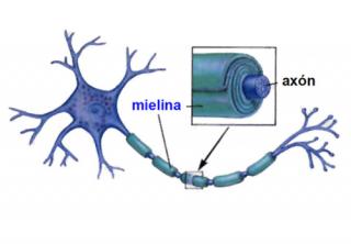 ¿Qué es la mielina?