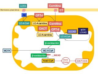 Membrana plasmática en la MCAD