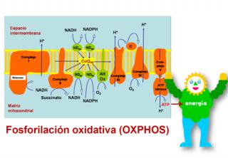 ¿Cómo se produce la energía dentro de la mitocondria?
