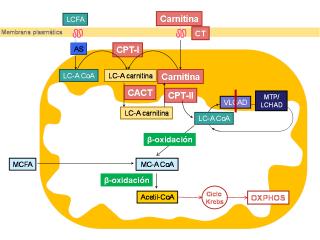 Membrana plasmática en la VLCAD
