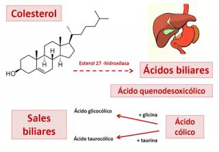 ¿Qué son los ácidos biliares?