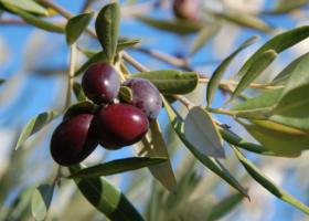 Aceitunas negras en árbol