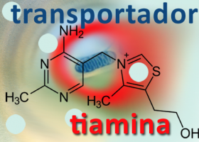 Transportadors de tiamina. Imagen: HSJDBCN