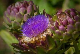 Guia metabólica alimentación: la alcachofa
