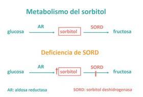 Deficiencia de sorbitol deshidrogenasa (SORD) en pacientes con una neuropatía motora hereditaria (enfermedad de Charcot-Marie-Tooth tipo 2)